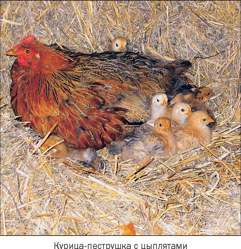Курица перевод с сербского
